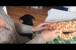 Video - Labrador wartet brav auf sein Lieblings-Spielzeug