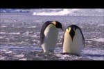 Video - Lustige Pinguine