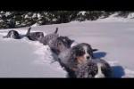 Video - 12 Wochen alte Berner Sennen Welpen im Schnee