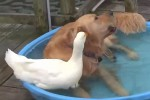 Video - Hund und Gans