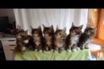 Video - Sieben niedliche Katzen ganz synchron
