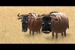 Video - Savanna version. Wildebeest from Birdbox Studio