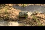 Video - Afrikanischer Ochsenfrosch