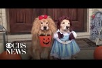 Video - Halloween Golden Retriever