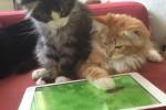 Video - Katze und iPad