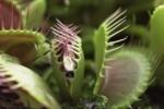 Video - Fleischfressende Pflanzen