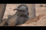 Video - Ein Monat alter Baby-Elefant